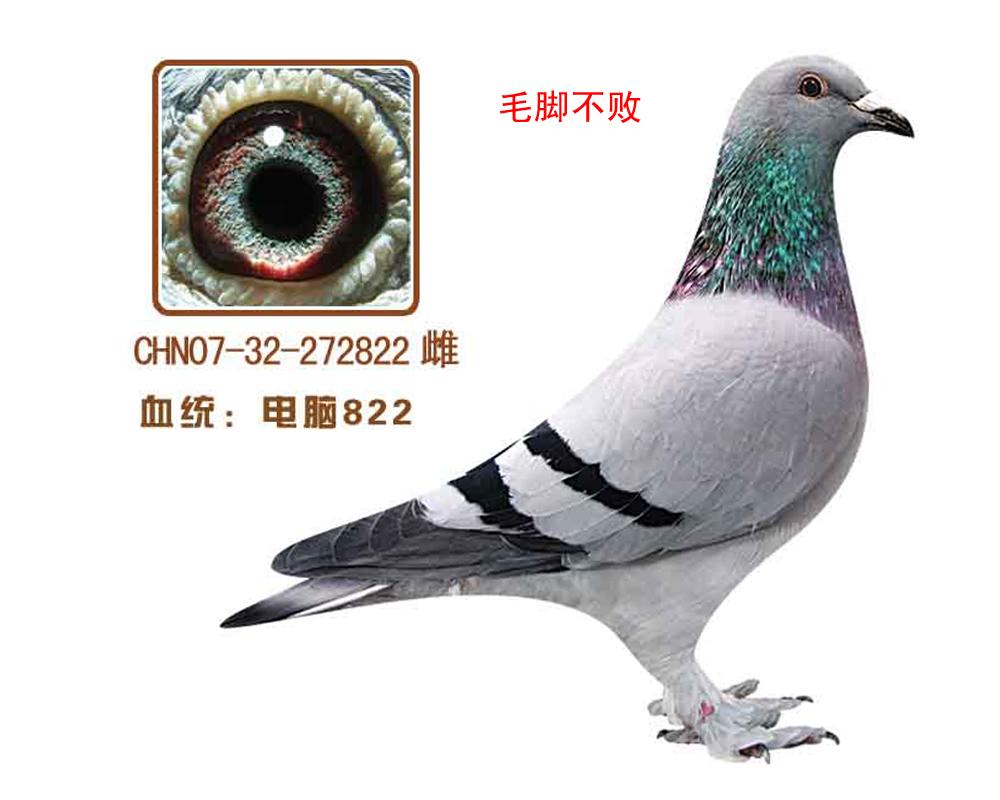 信鸽特征-电脑822 电脑毛脚不败
