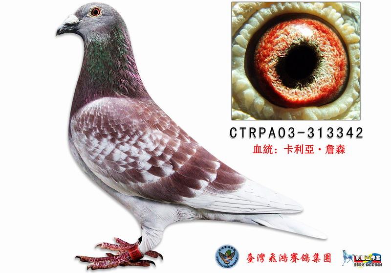 詹森红狐_台湾飞鸿集团_ ag188.com爱鸽商城_中国信鸽图片