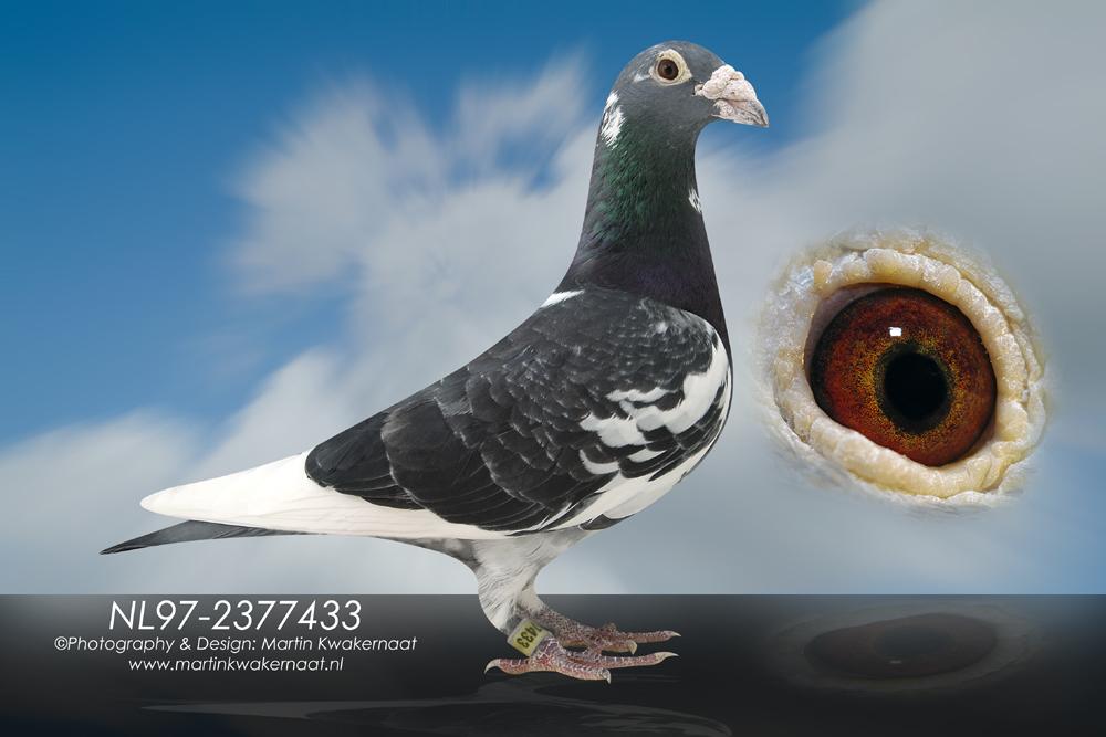 信鸽羽色配对图解图片大全 鸽子不同羽色配对能出什么样