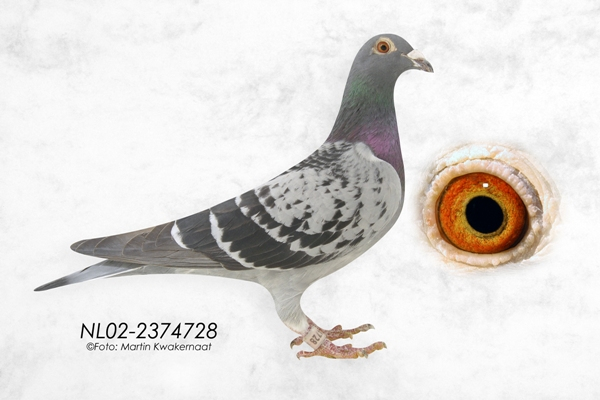雨点728号 fennema信鸽图片