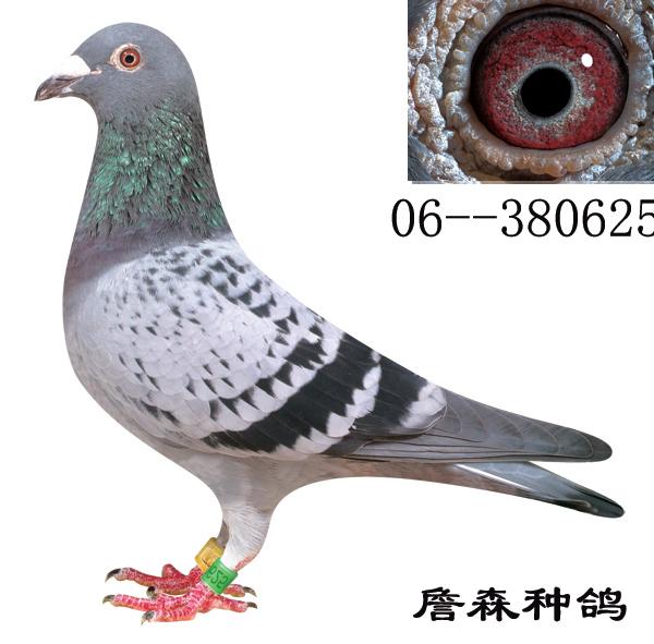 鸽友信鸽引种的首选之地-中国信鸽信息网; 上海金盾鸽舍 - 詹森图片