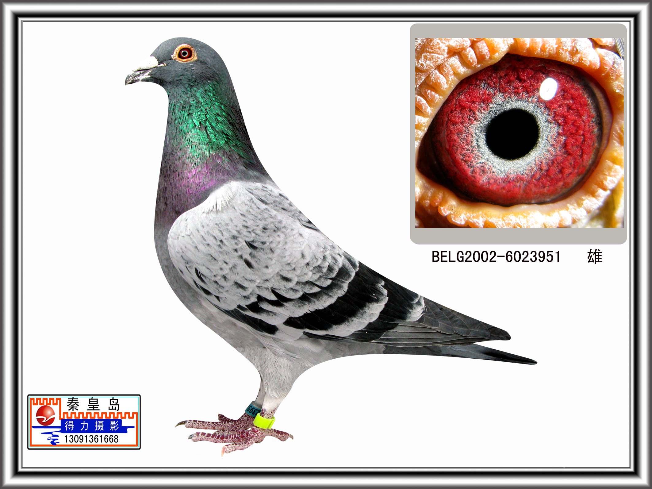 信鸽特征-电脑戈马利四冠王