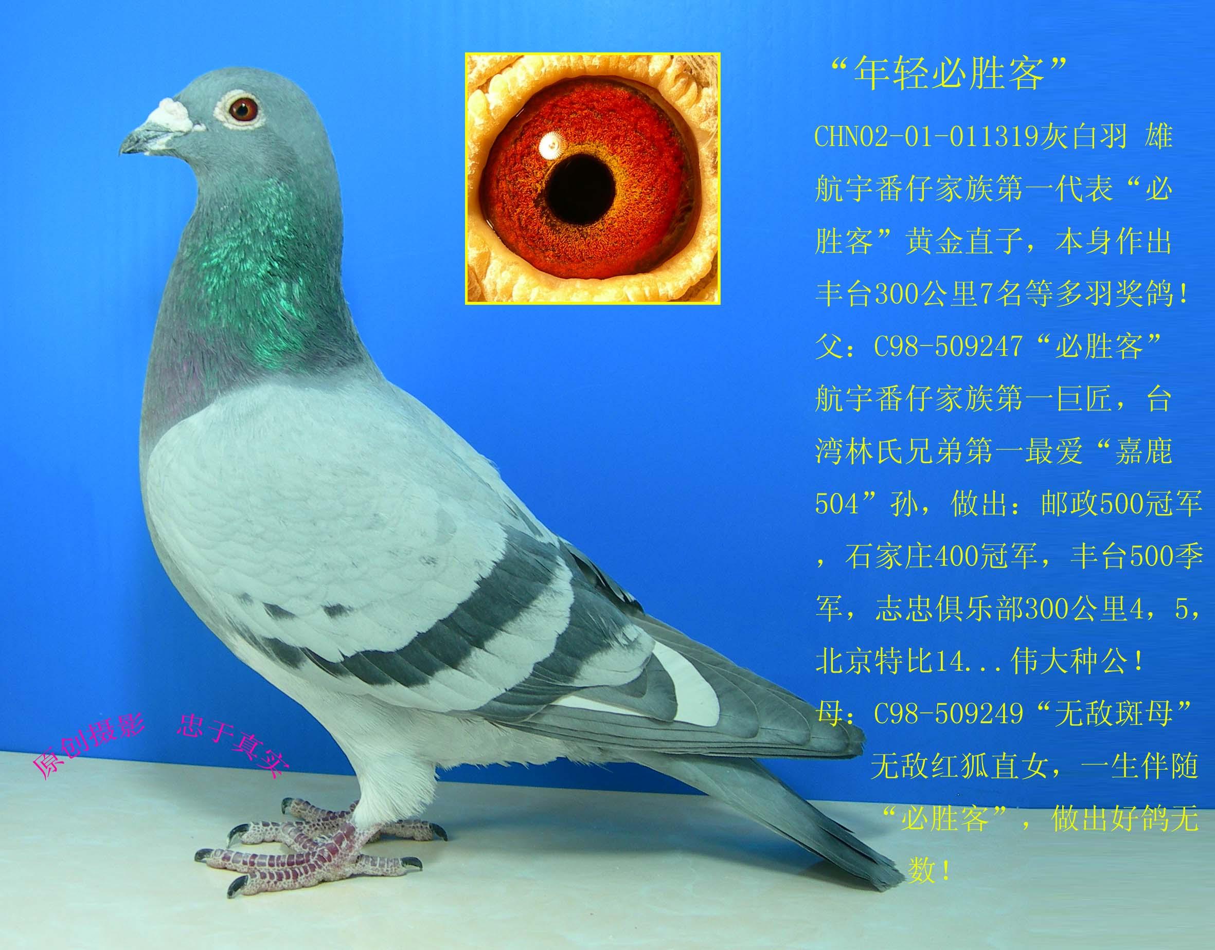 """""""必胜客""""为台湾第一奖金王林氏兄弟最爱种公""""嘉鹿504""""直孙,""""嘉鹿504"""""""