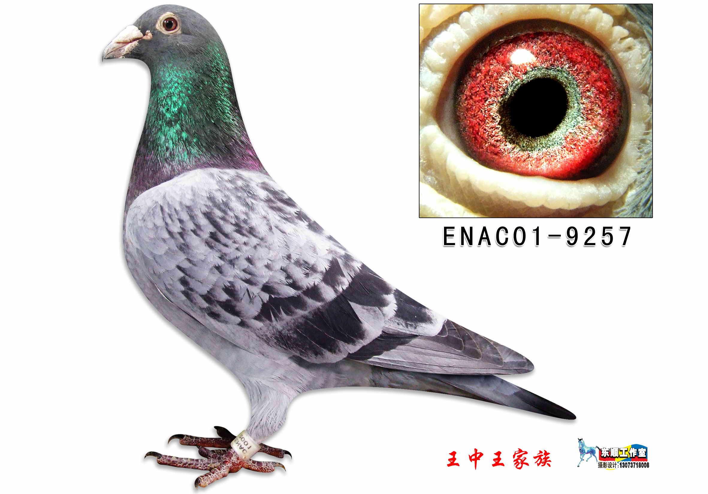 信鸽特征-凡龙勇士 江苏王中王家族