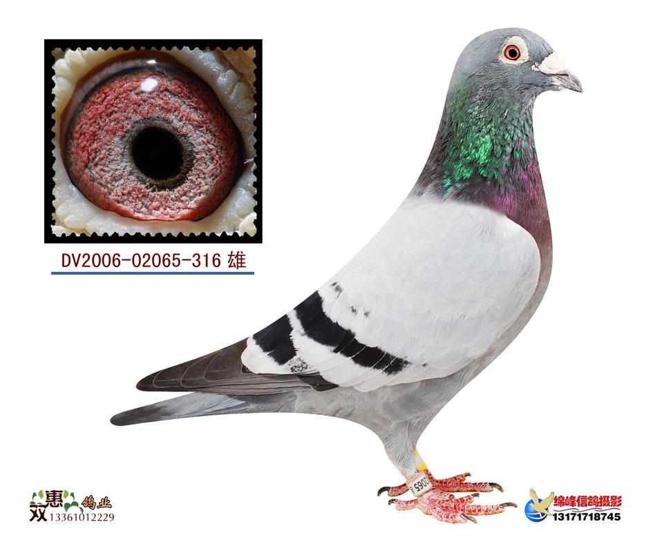 信鸽特征-电脑戈马利316.