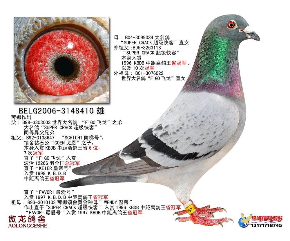 信鸽特征-飞戈直系种鸽2