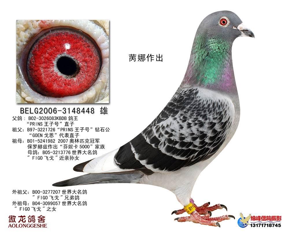 信鸽特征-飞戈直系种鸽4