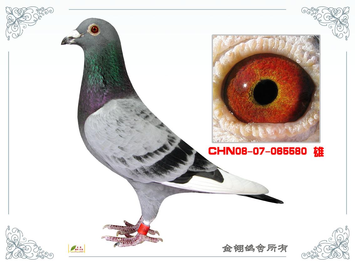 信鸽特征-超速飞戈直子 仅供子代