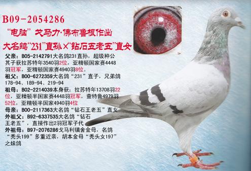 小年轻231 环号: b09-2054286 羽色: 灰 眼砂: 砂眼 作出: 金奖家园