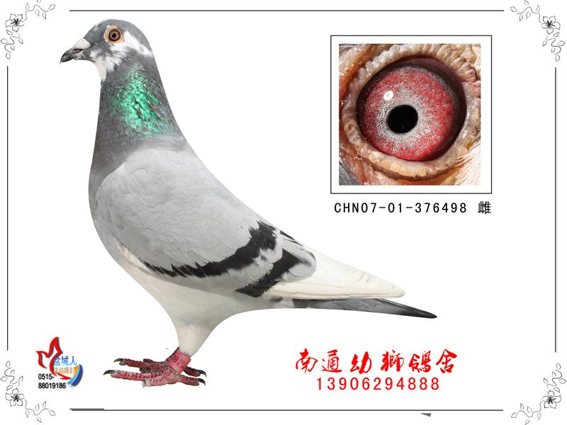 信鸽特征-桑杰士汤米狼狗号直孙女