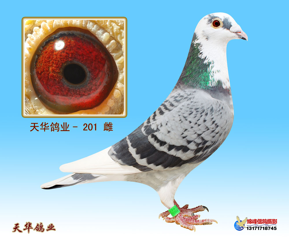 詹森信鸽眼信鸽图片展示图片