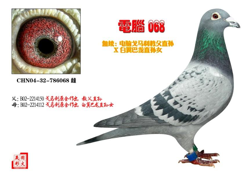 信鸽特征-电脑068 天生鸽园