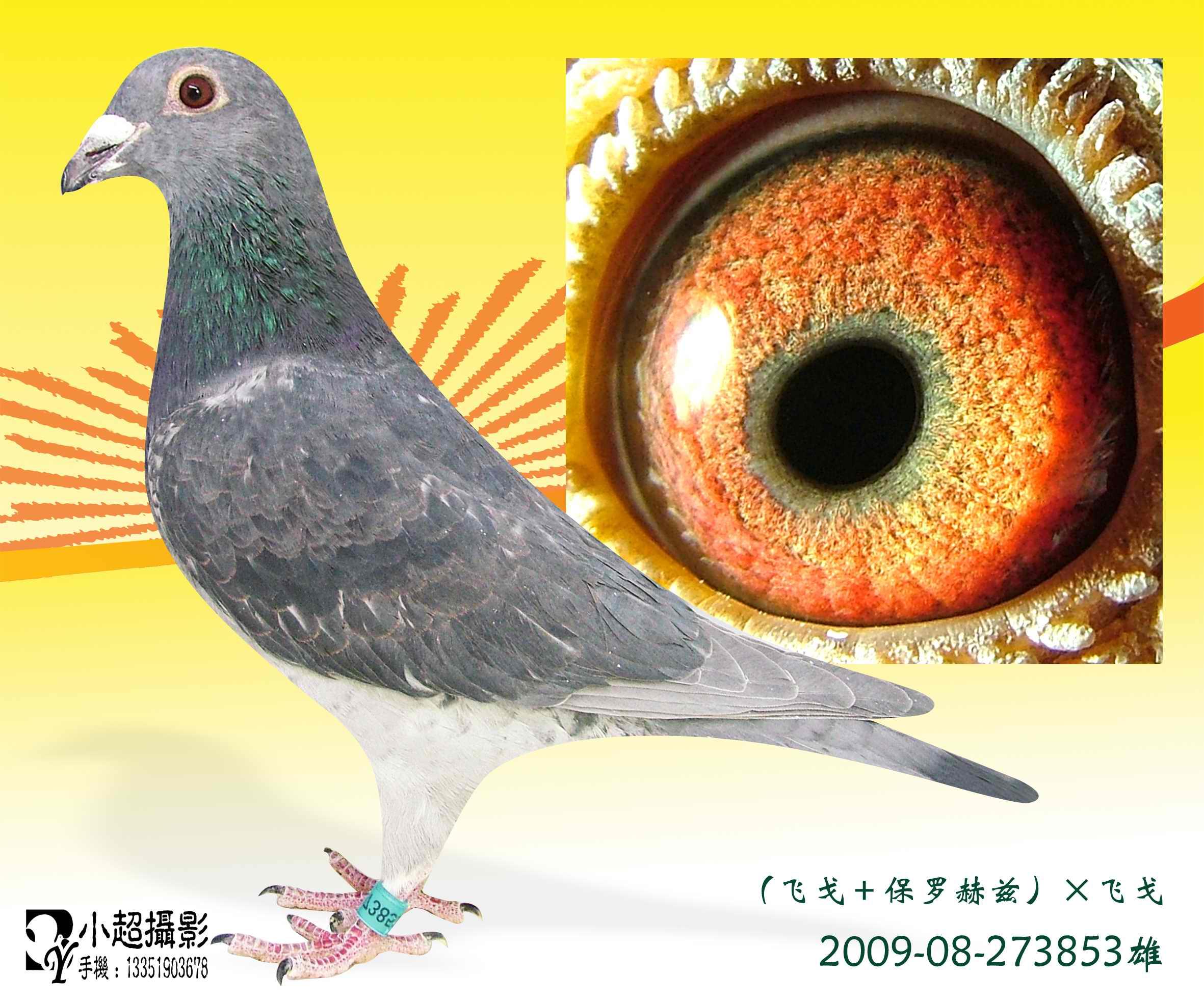 信鸽特征-32 飞戈 保罗赫兹 飞戈