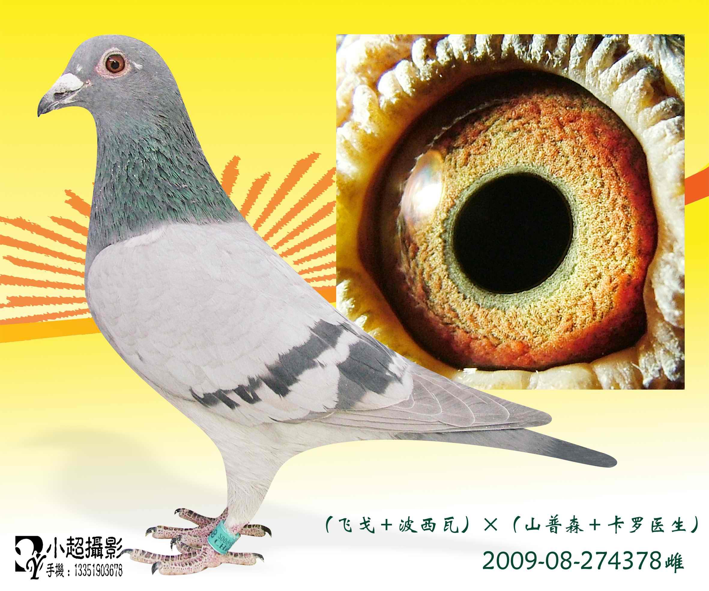 信鸽特征-43 飞戈 波西瓦 山普森 卡罗