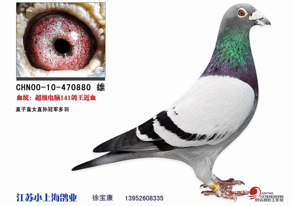 信鸽特征-电脑戈马利141鸽王近亲