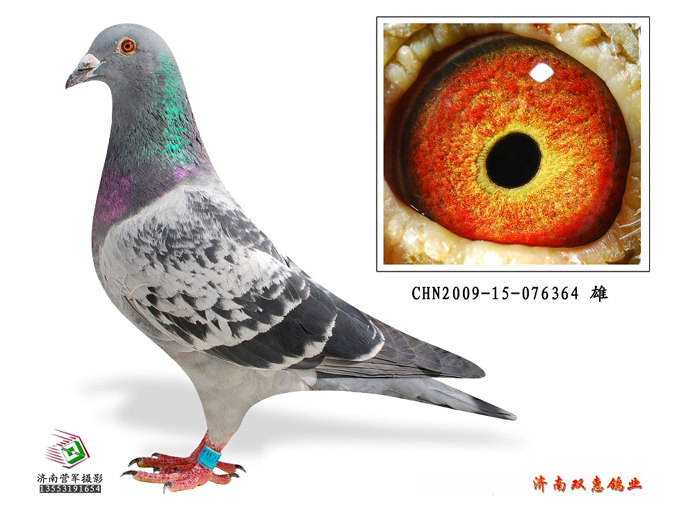 动物 鸽 鸽子 教学图示 鸟 鸟类 1000_749