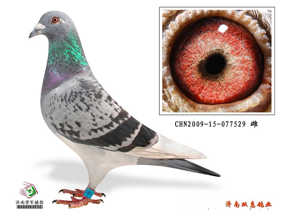 信鸽特征-电脑戈马利008血系529