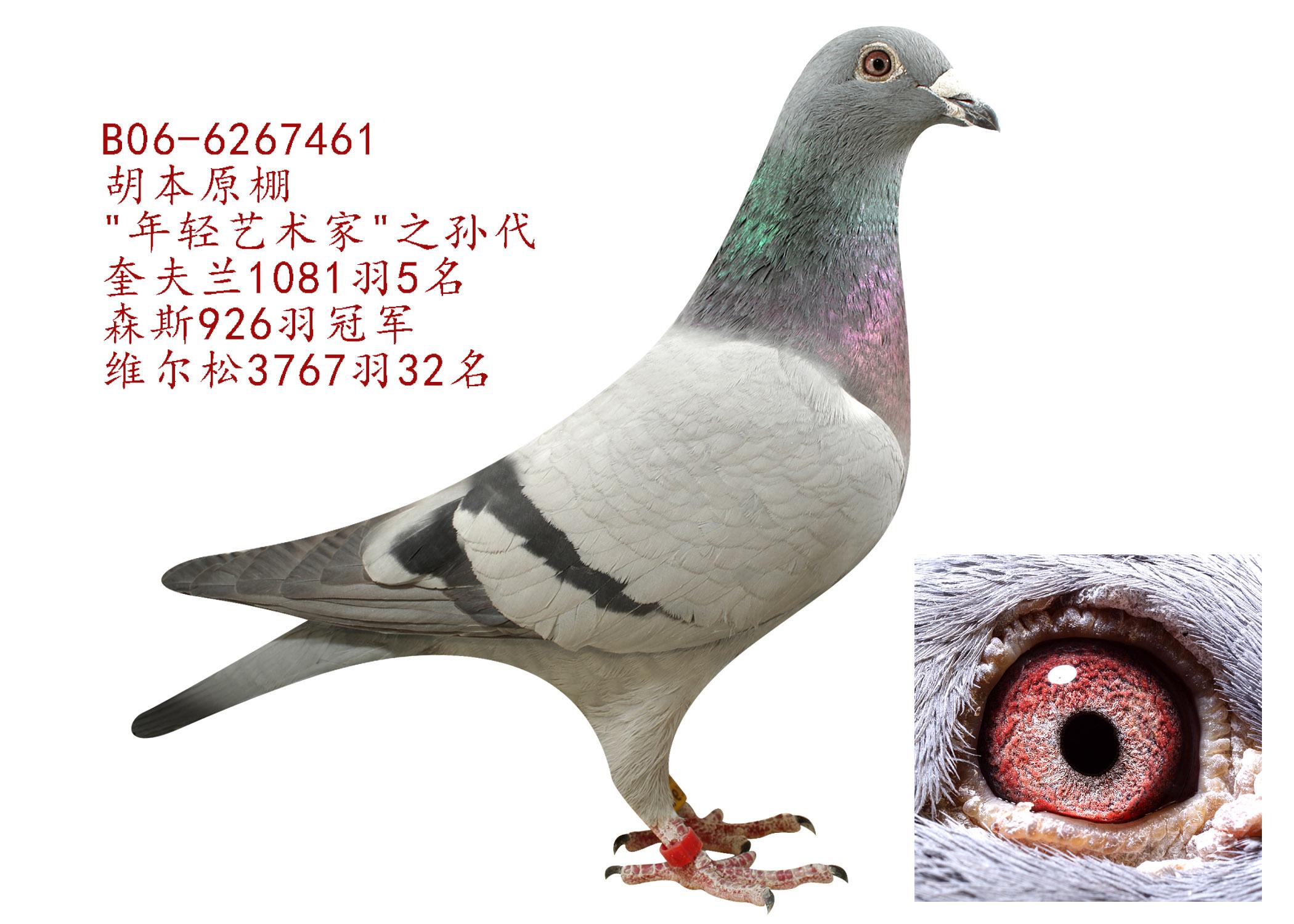 胡本461 北京极致鸽舍