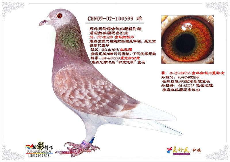 信鸽特征图片