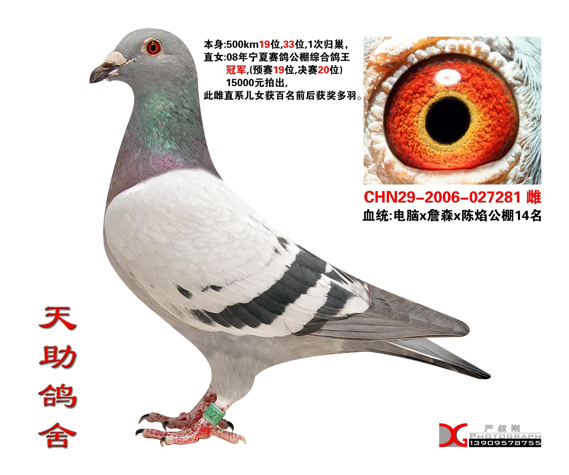 信鸽特征-电脑公棚鸽王冠军母