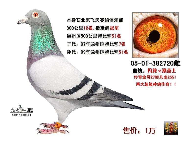 信鸽特征-天体黄眼凡龙女儿 720