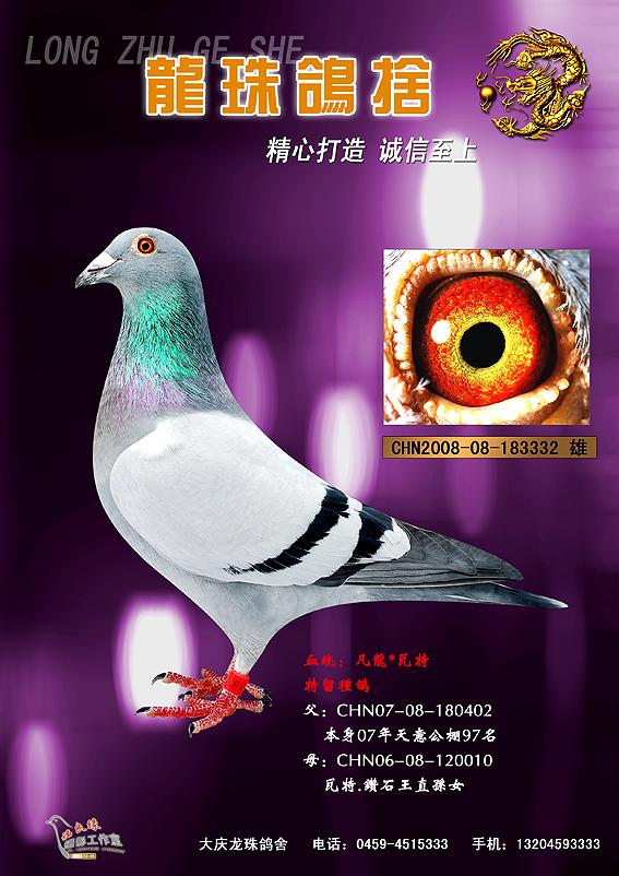 信鸽特征-凡龙 瓦特 大庆市鸽协赛鸽联盟