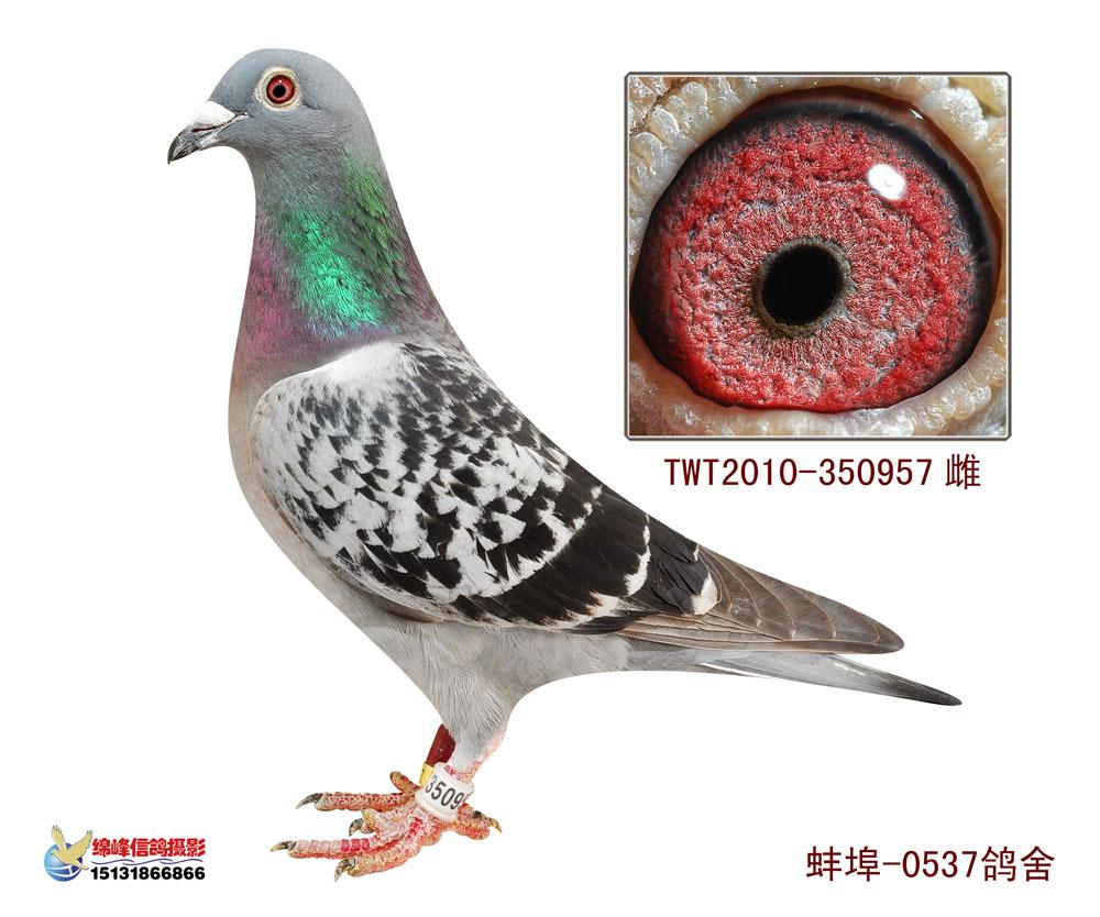 信鸽特征-台鸽2 0537鸽舍