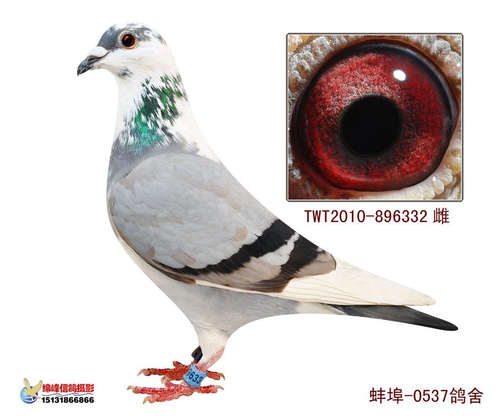 信鸽特征-台鸽6 0537鸽舍