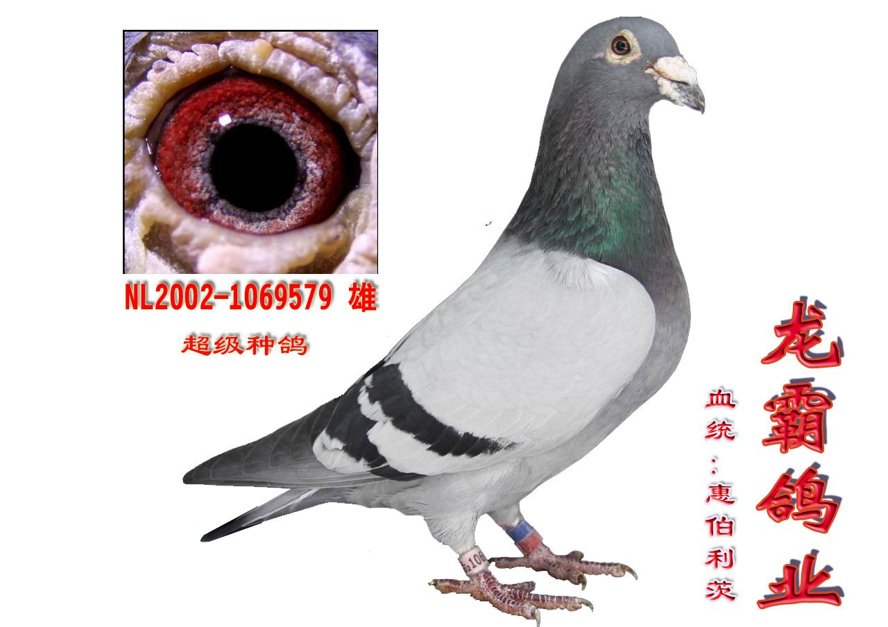 超级种鸽579 龙霸鸽业
