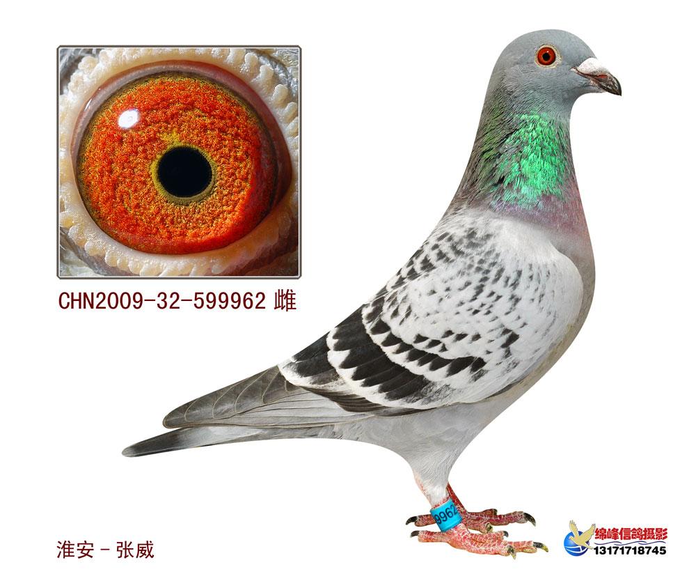 信鸽特征-速霸龙962 淮安张威赛鸽繁育中心图片