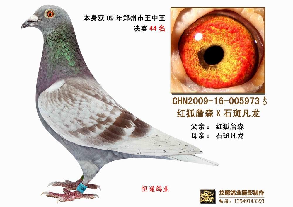 信鸽特征-红狐詹森X石斑凡龙