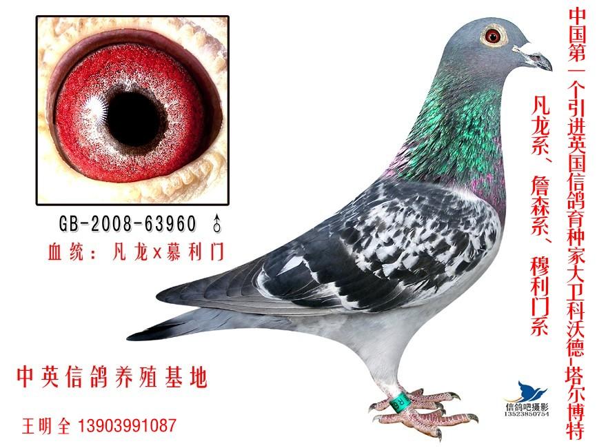 信鸽特征-凡龙 慕利门 中英信鸽养殖基地