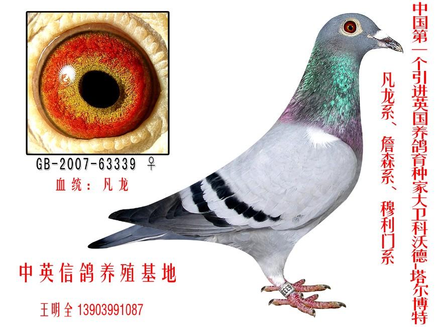 信鸽特征-凡龙 中英信鸽养殖基地