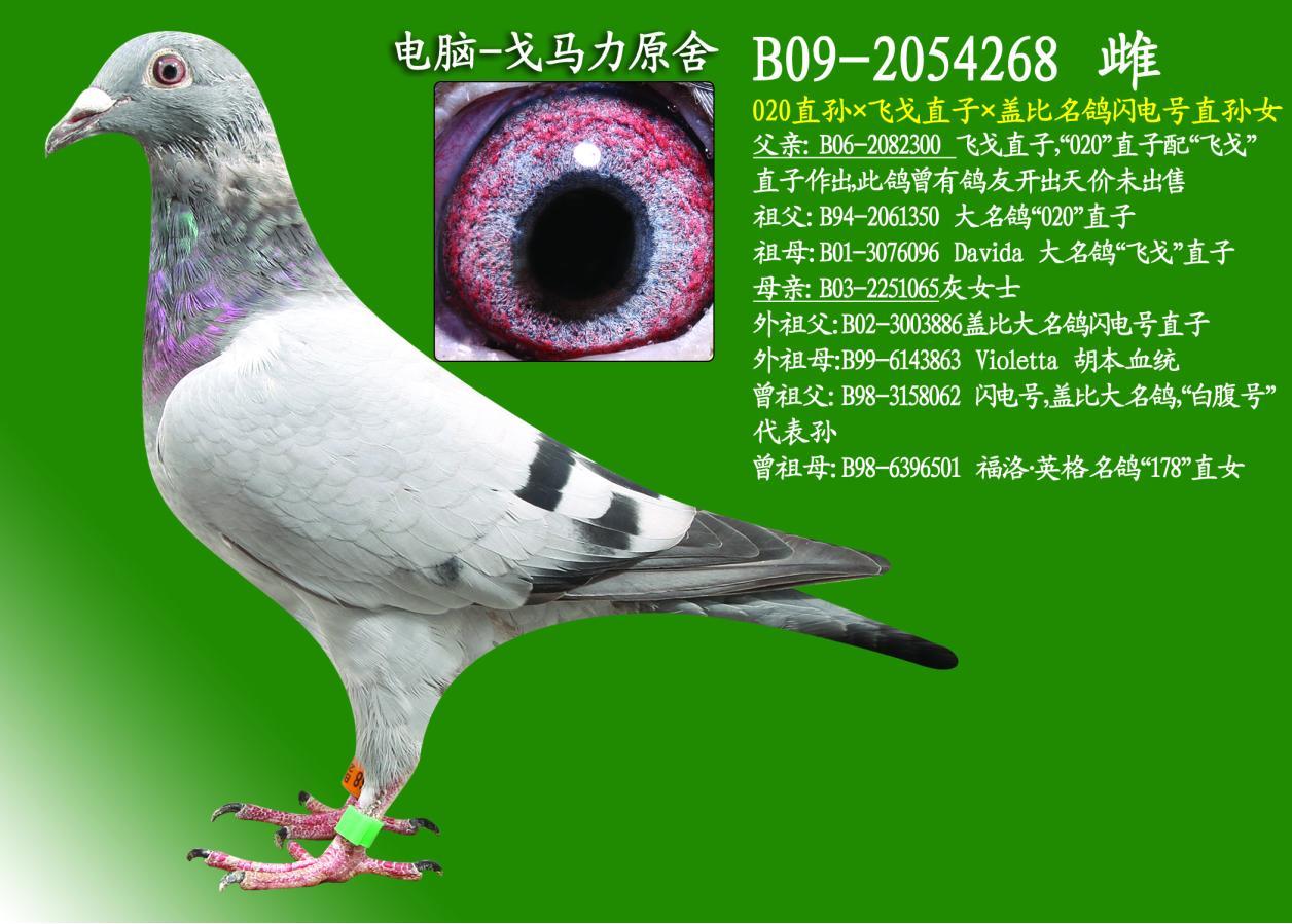 信鸽特征-020直孙 飞戈直子 盖比名鸽闪电号直孙