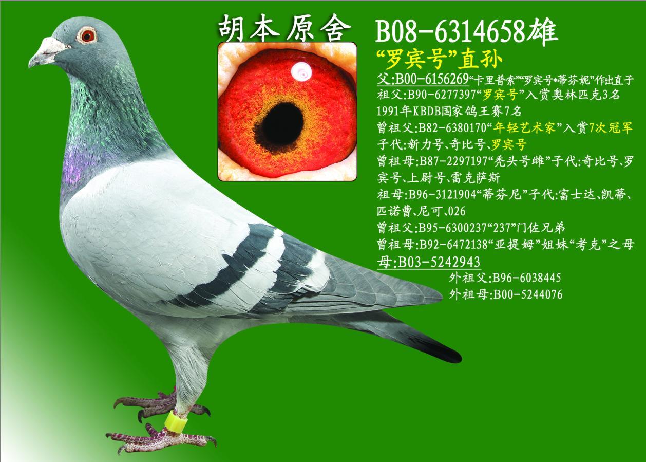胡本鸽子的特点和-信鸽特征-胡本原舍 龙凤鸽业