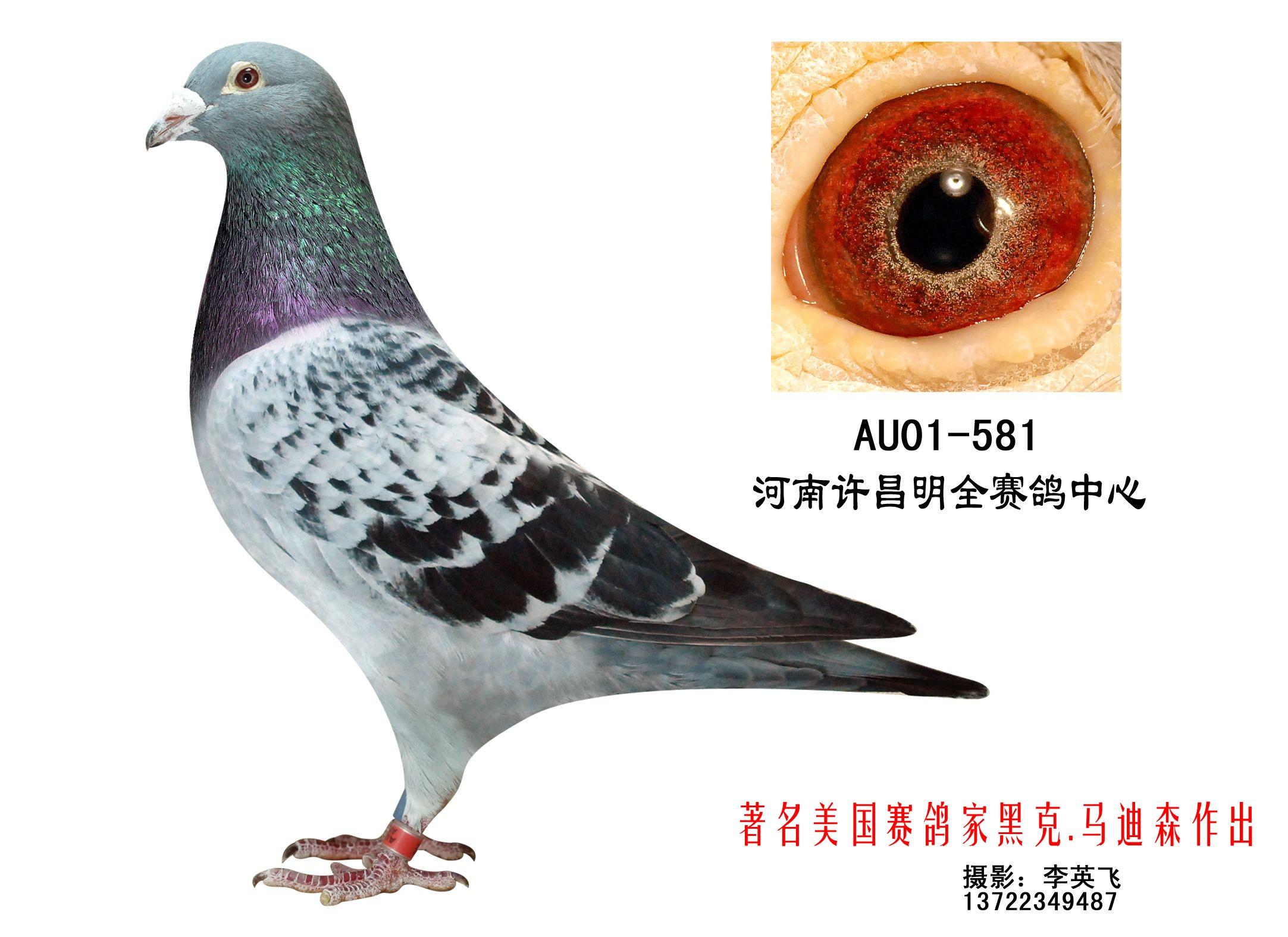 信鸽特征-凡龙 贺夫肯 中英信鸽养殖基地