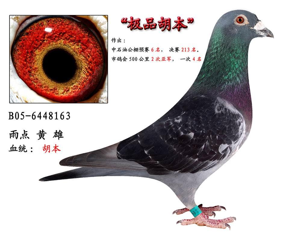 design中华信鸽种鸽配对图片内容中华信鸽种鸽配对图片詹森信鸽