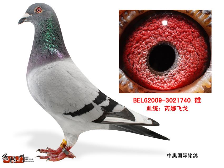 芮娜飞戈740 山西中奥国际铭鸽