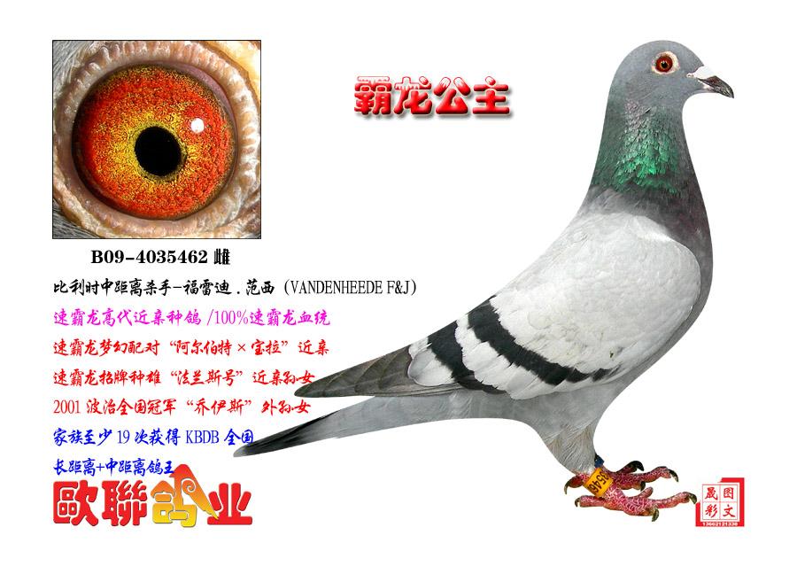 速霸龙 霸龙公主 欧联国际赛鸽图片