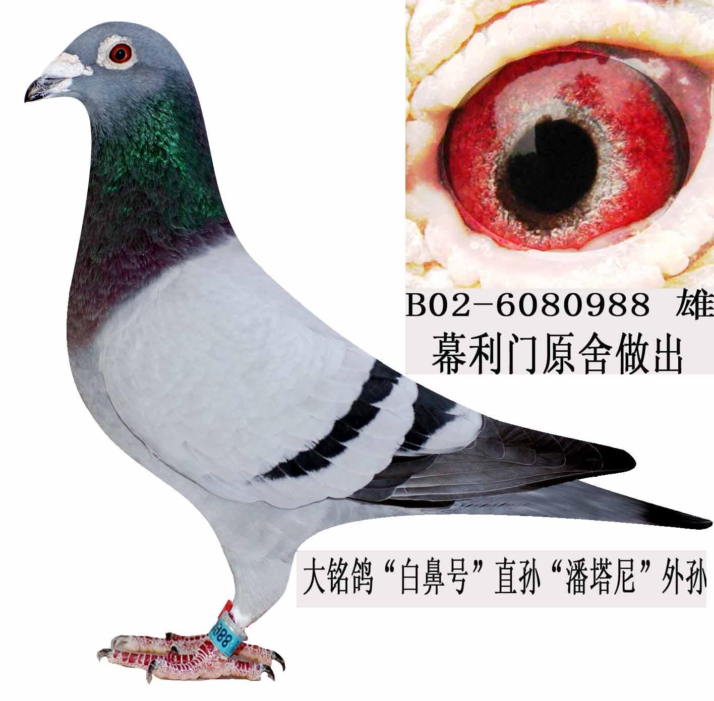幕利门信鸽_