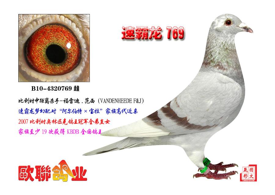 速霸龙769 欧联国际赛鸽图片