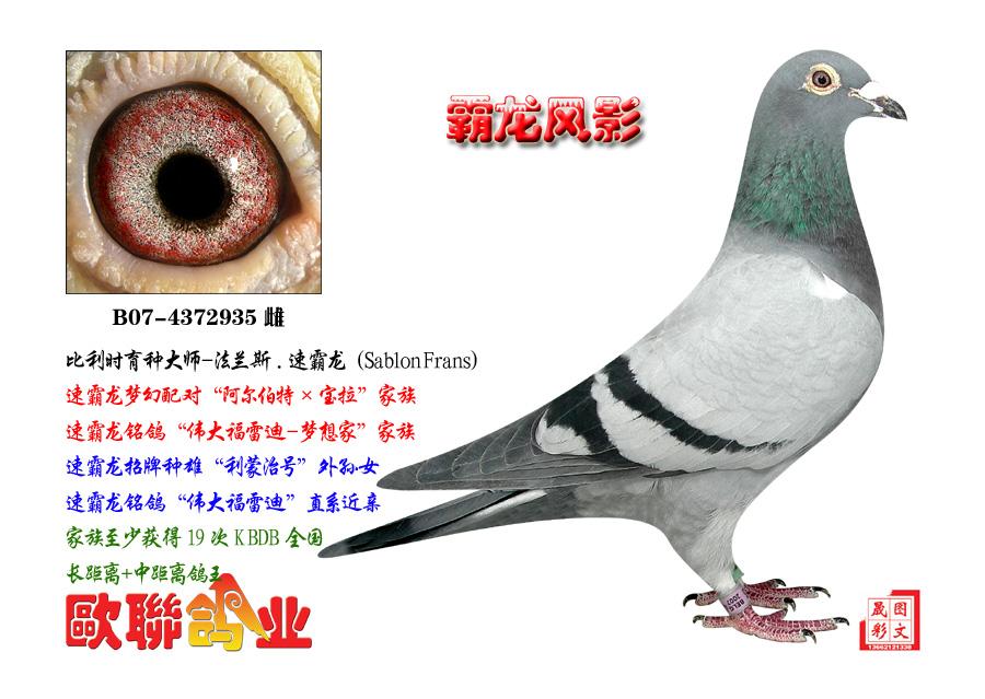 速霸龙 霸龙风影 欧联国际赛鸽图片