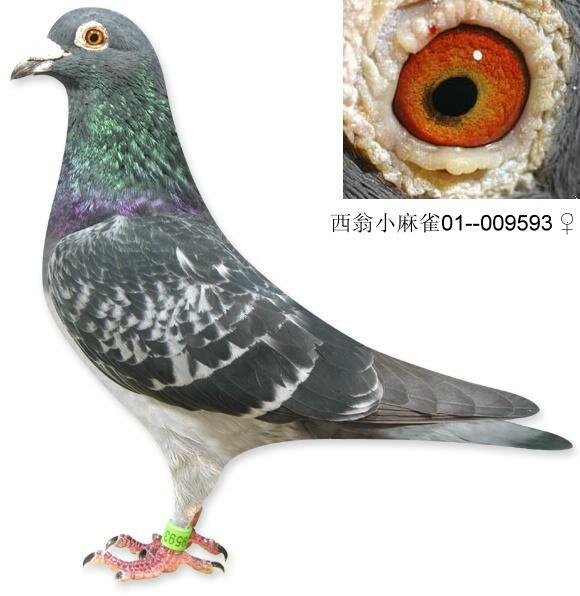 西翁小麻雀 009593 上海金盾鸽舍