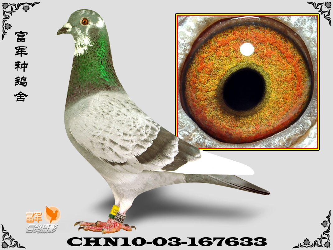 动物鸽鸽子铠甲图示鸟鸟类1070_803教学的乌龟是怎样来的图片
