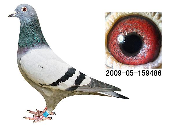 信鸽特征-电脑戈马利种鸽486