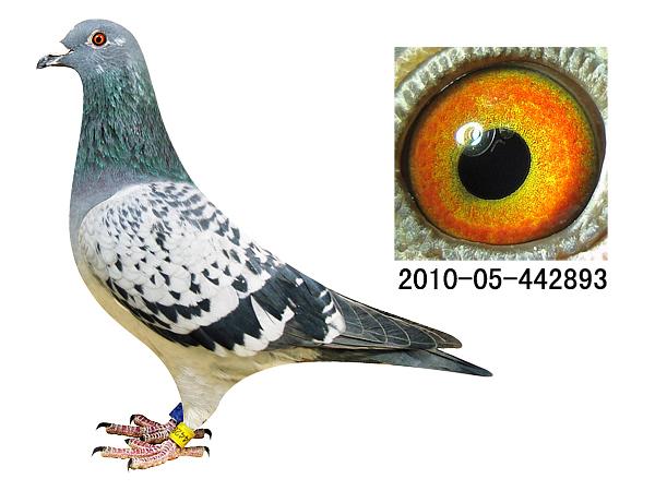 WWW_893KK_COM_爱亚卡普凡龙种鸽893