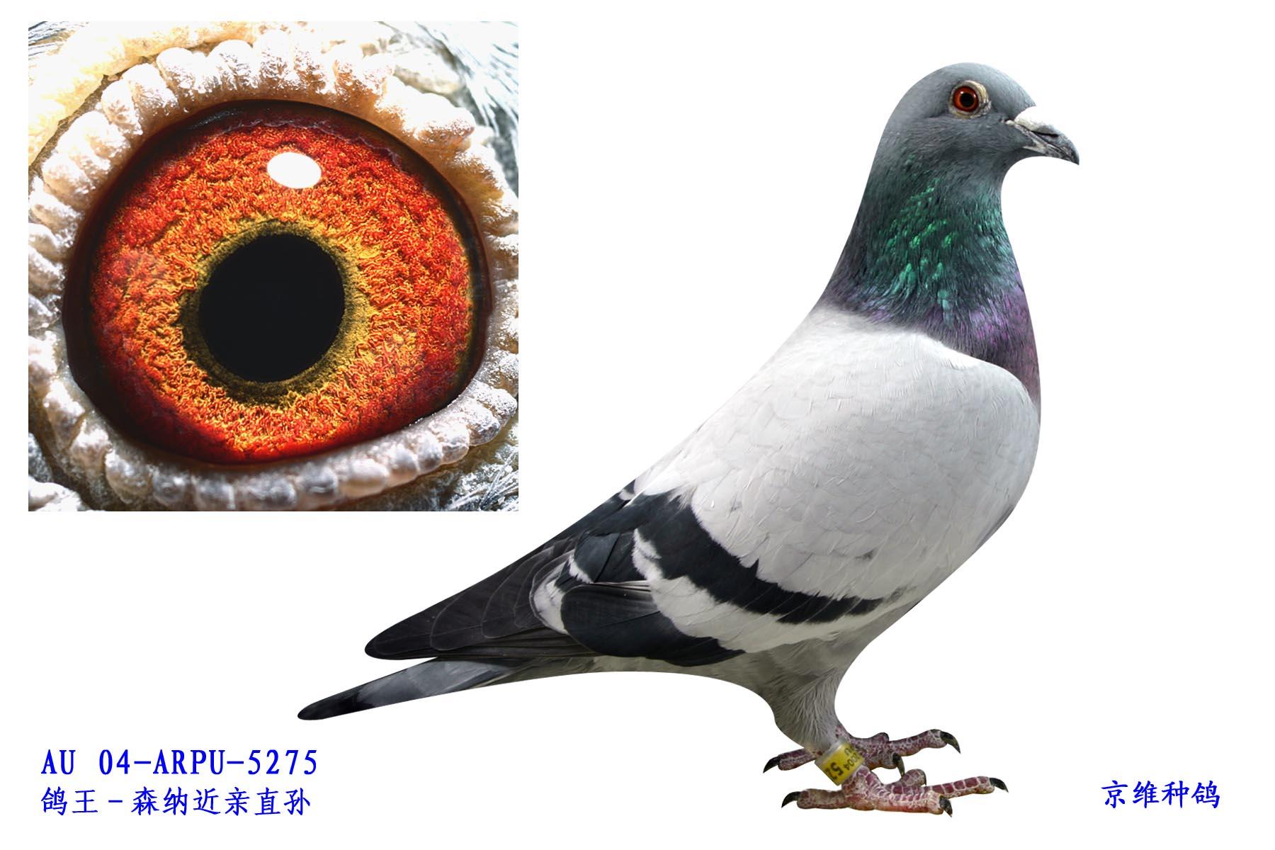 超级73号 凡龙 5275 雄 北京京维种鸽养殖中心