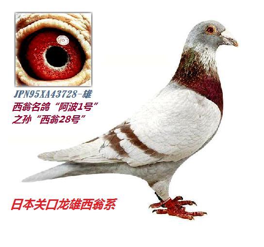 红狐狸信鸽配詹森老白眼信鸽好不好看具体的.图片