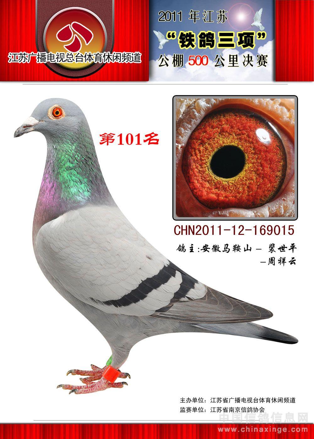 信鸽特征-狼狗号曾孙女 江苏电视台决赛101名