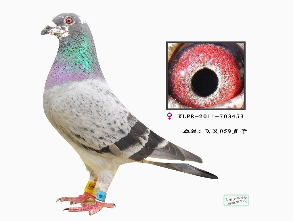 信鸽特征-飞戈059直子 台湾松榜猛翔鸽业